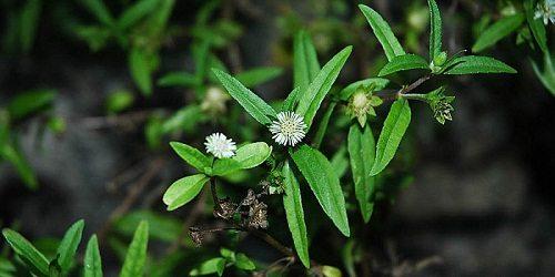 Cây cỏ mực có tác dụng hiệu quả trong việc thanh độc, giải mát