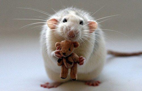 Động vật bò sát chuột bọ là vật trung gian gây bệnh dịch hạch
