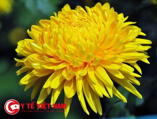 Nước hoa cúc vàng với các thảo dược: xuyên khung, tang bạch bì,....dùng để gội đầu trị rụng tóc