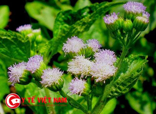 Cây hoa ngũ sắc lại có công dụng chữa bệnh viêm xoang hiệu quả