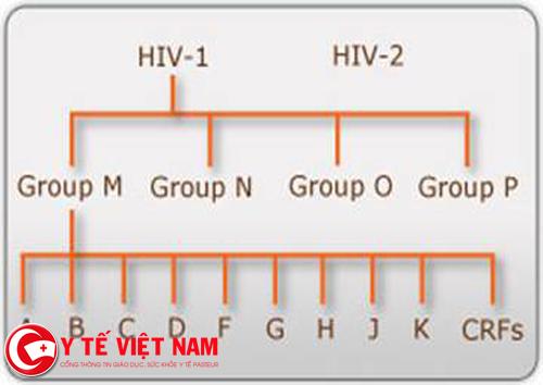 Các nhóm của HIV-1 và HIV-2