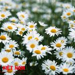 Hoa cúc trắng thỏa dược chữa bệnh rối loạn tiền đình.
