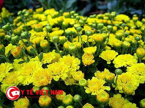 Hoa cúc vàng chữa viêm kết mạc