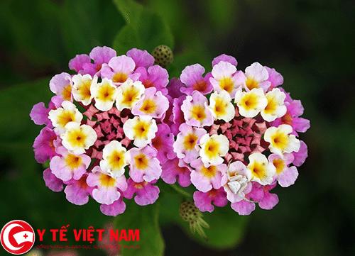 Hoa ngũ sắc mẹo dân gian chữa bệnh nấm da đầu