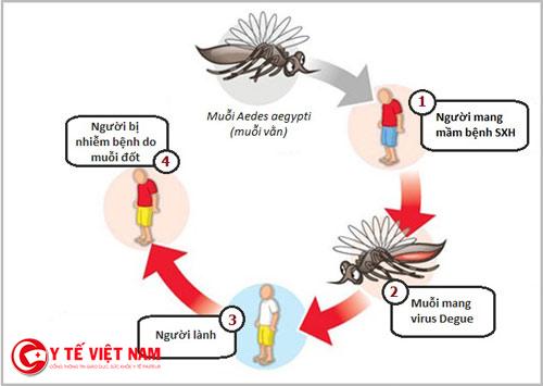 Cách muỗi mang bệnh đến cho con người