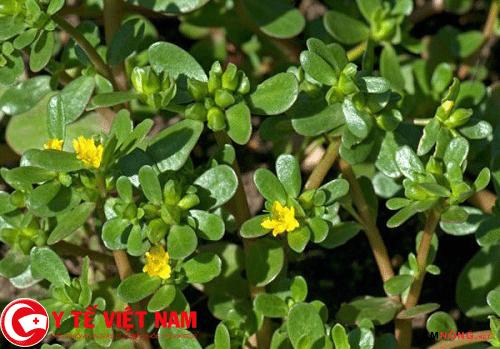 Thảo dược chữa bệnh tiêu chảy từ rau sam