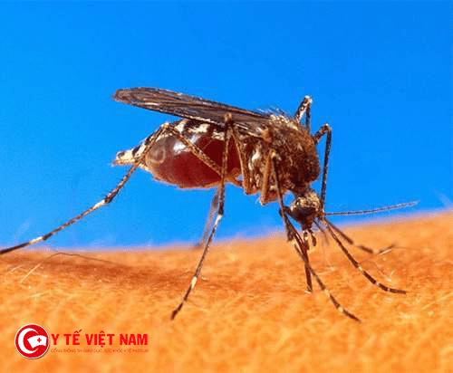 Viêm não Nhật Bản lây sang người được truyền từ giống muỗi Culex