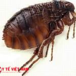 Bọ chét con vật trung gian nguyên nhân gây bệnh dịch hạch