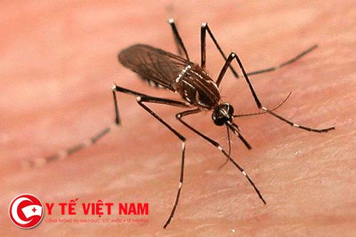 Muỗi là tác nhân lây truyền nhiều bệnh truyền nhiễm