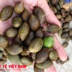 Hạt đười ươi thần dược chữa bệnh gai cột sống cực tốt