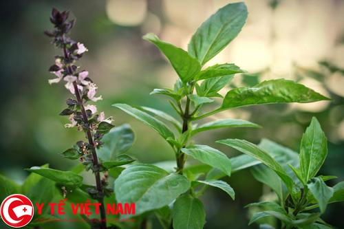 Chữa bệnh sốt xuất huyết nhanh chóng và hiệu quả với cây húng quế