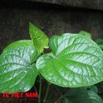 Lá lốt thảo dược đặc trị bệnh thoái hóa cột sống