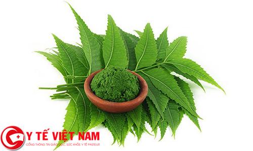 Điều trị sốt xuất huyết tại nhà bằng lá neem