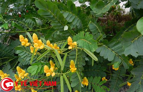 Sử dụng dễ cây muồng để chữa bệnh sốt xuất huyết