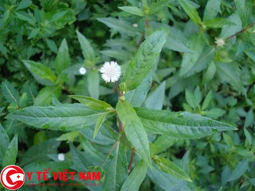 Cách chữa sốt siêu vi bằng cỏ nhọ nồi