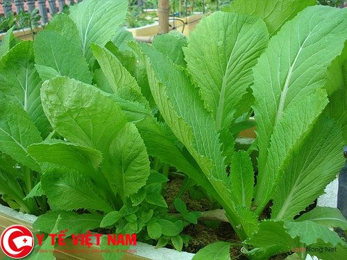Nên ăn nhiều rau cải bẹ xanh