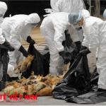 Chủng cúm virus cực độc lực cao có thể tràn vào Việt Nam