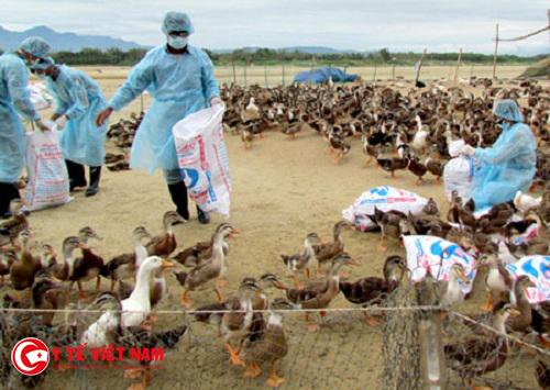 Nghệ An tiêu hủy 500 con gia cầm nhiễm dịch cúm H5N1