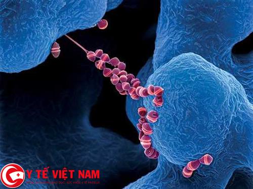Bộ y tế khuyến cáo phòng bệnh liên cầu khuẩn lợn ở người