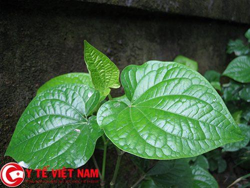 Vị thuốc chữa bệnh gút từ lá lốt