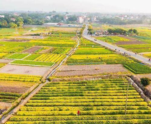Ngắm trọn bộ ảnh cánh đồng dược liệu đẹp mê ly tại Hưng Yên