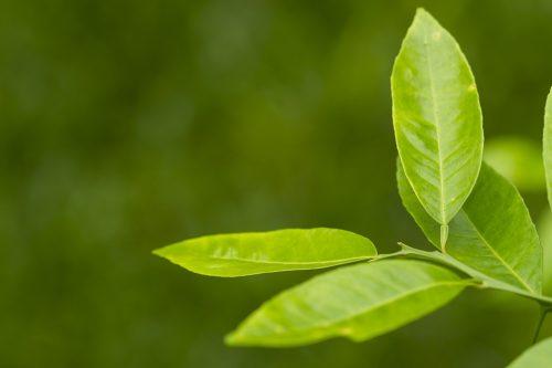 Lá chanh có tác dụng chống viêm hiệu quả