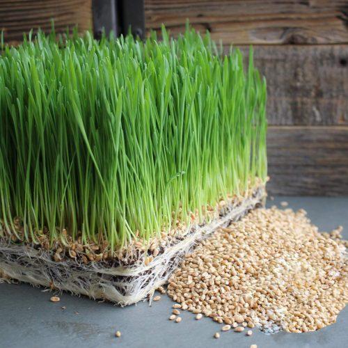 mầm lúa mì