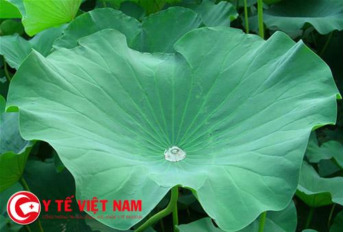 Bài thuốc Đông y an toàn từ lá sen