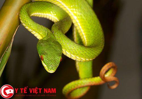 Số lượng bệnh nhân bị rắn căn tăng nhanh trong mùa mưa