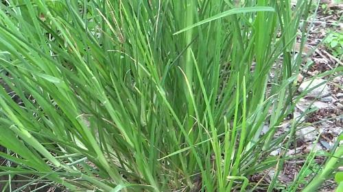 Những công dụng chữa bệnh của cây cỏ Mần trầu