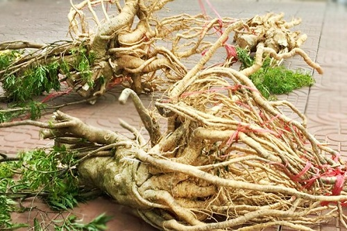 Công dụng của rễ cây đinh lăng
