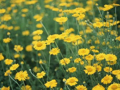 Những công dụng chữa bệnh của hoa cúc vàng trong Đông Y