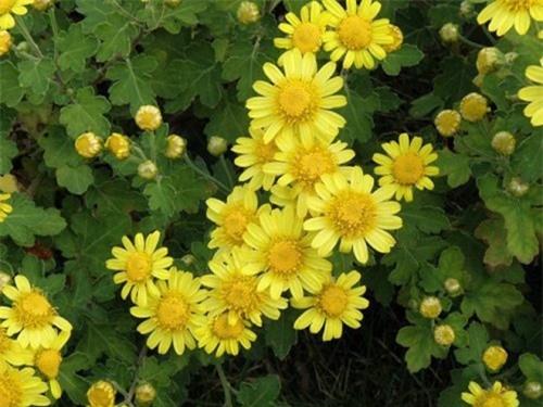 Hoa cúc vàng có nhiều công dụng chữa bệnh