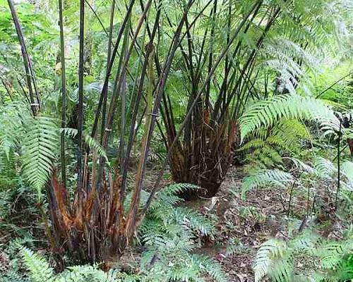 Tác dụng chữa bệnh của cây Cẩu tích trong Y học cổ truyền