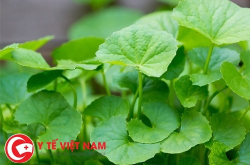 Vì sao rau má trở thành vị thuốc quý trong Y học cổ truyền?