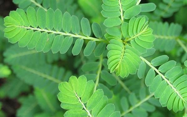 Công dụng tiêu độc, lợi mật, lợi tiểu của vị thuốc Nam diệp hạ châu
