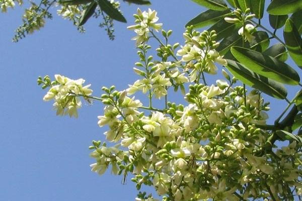 hoa hòe có công dụng chống viêm, giảm sự tiêu hao oxy của cơ tim