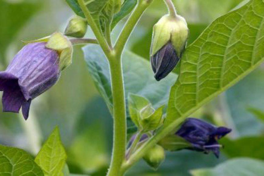 Benladon: Đặc điểm thực vật, thành phần hóa học và công dụng